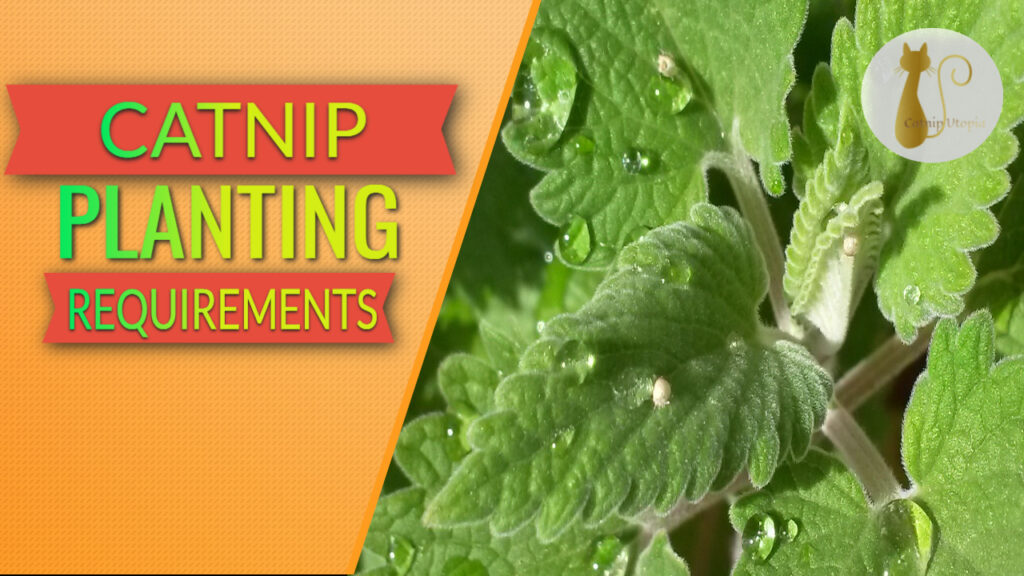 Catnip Plant Care Indoors