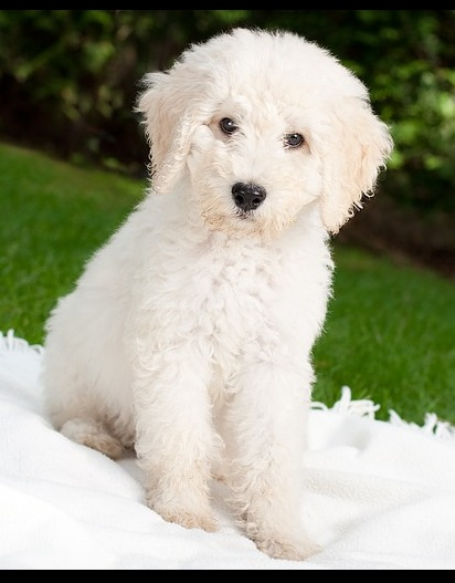 Goldendoodle – The Hard To Find Perfect Puppy of a Lifetime!