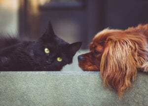 spaniel dog lying with black cat